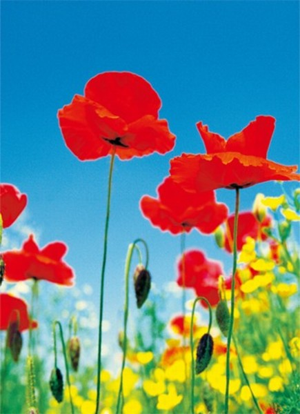 Image of   Wizard Genius F371 Poppy Field