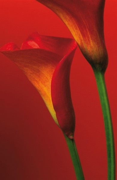 Image of   Wizard Genius F406 Red Calla Lillies