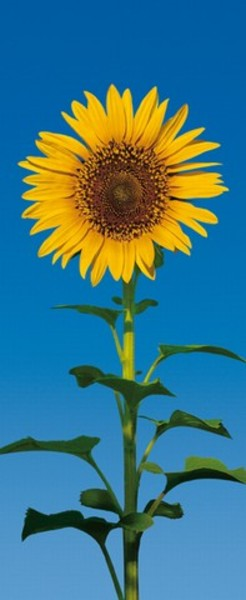 Image of   Wizard Genius F509 Sunflower